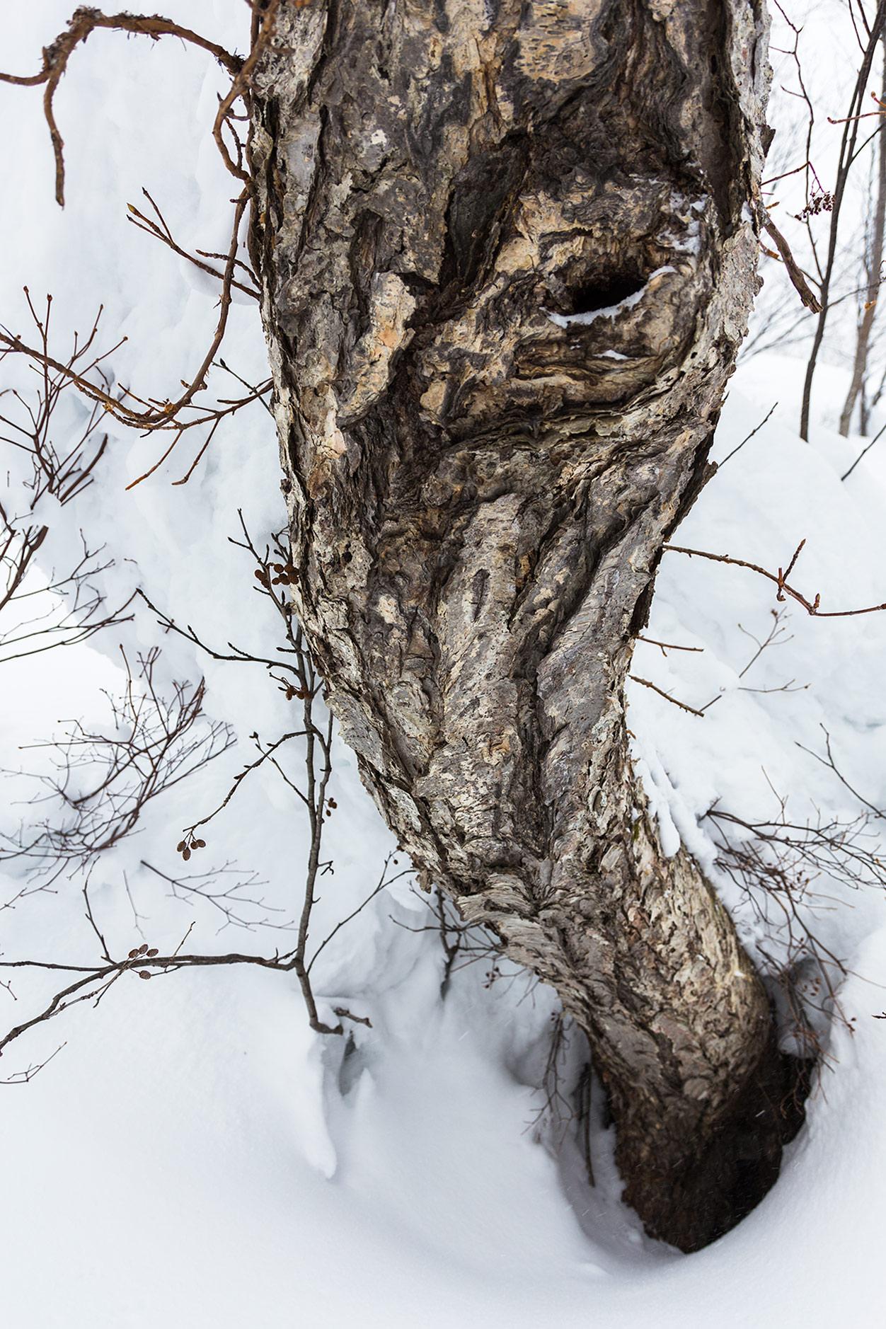 Vaikka tämä Kiroron puu on ilmeeltään pelottava ja lumi syvää, ei tänne kätkeydy samalla tavalla vaarallisia puukaivoja kuin havupuualueelle. Esimerkiksi Pohjois-Amerikassa runkojen lähelle oksien väliin jäävästä ilmasta muodostuvat puukaivot ovat todellin