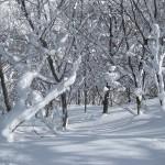 Hakuba trees