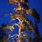 ylläs maisematie puut