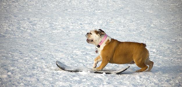 Lumilautaileva bulldoggi
