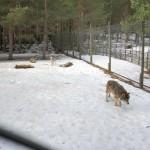 Järvzoo eläintarha susi
